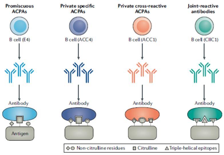 抗原抗体特异性结合_Nature专题,类风湿关节炎(RA),抗瓜氨酸蛋白抗体(ACPA)